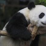 Trükkös feladat reggelre: milyen hamar találjátok meg a pandát?