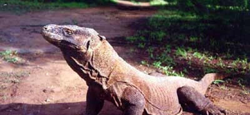 Komodói sárkány támadt meg egy idegenvezetőt