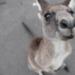 De mégis honnan ugrott elő a kenguru az evolúcióban?