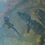 Fotó: A köveken lazulnak a különleges szegedi kis krokodilok