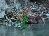 Különleges alakulat: Angliában bevetik a hódokat az áradások ellen