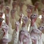 A bíróság szerint nem állatkínzás a pulykadobálás, de azért idén elmaradt