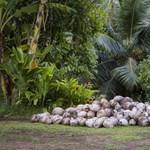 A kókuszolaj-termelés ötször annyi fajt veszélyeztet, mint a pálmaolajé