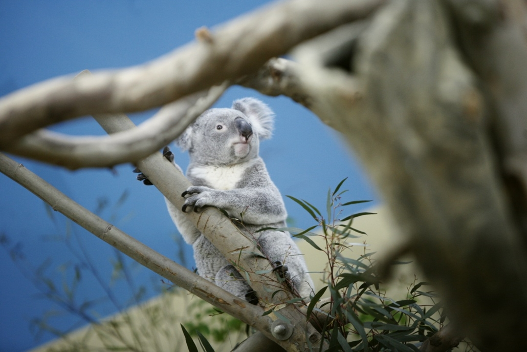 20150307005 - fm.15.03.05. - Koala érkezett a Fővárosi Állatkertbe - koala, koalamedve, koalamaci, cukimaci, szőrmók