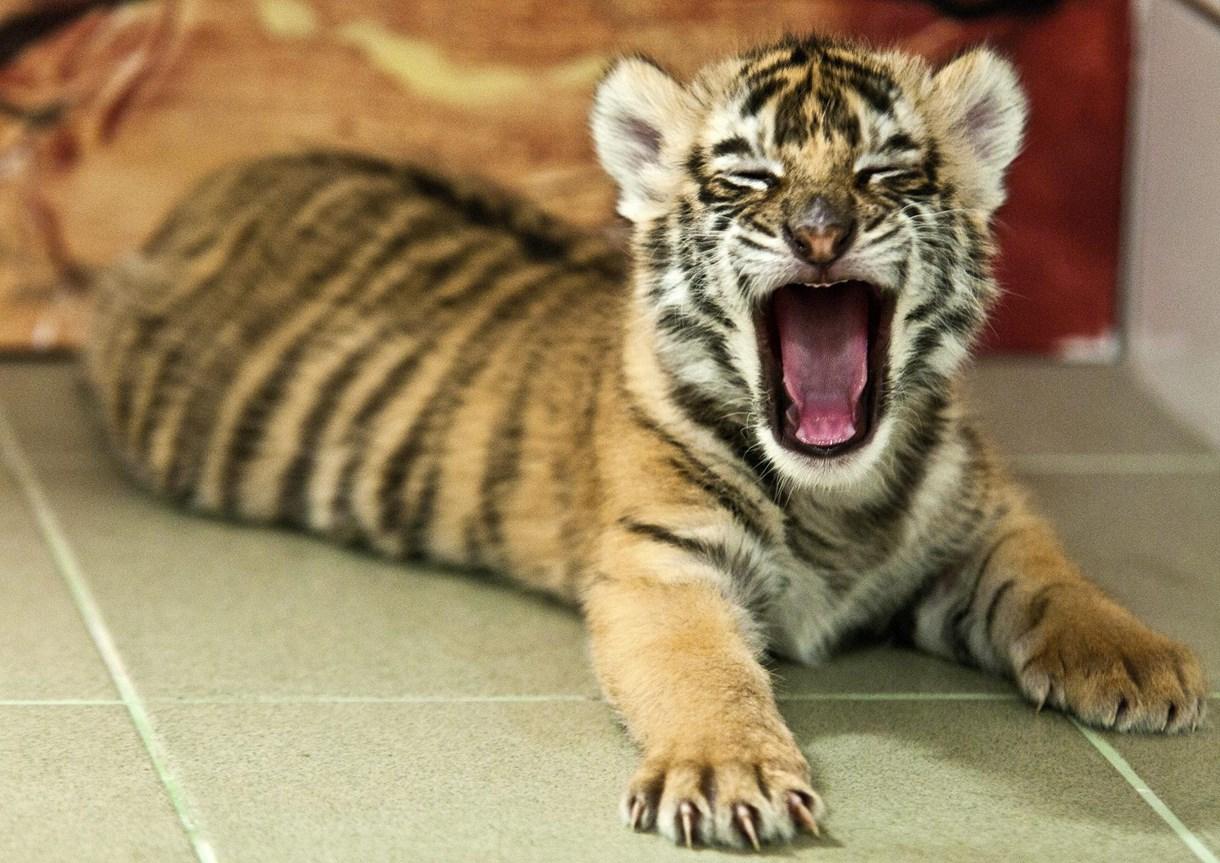 Fotók: bengáli tigriskölyköt nevelnek Győrben