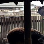 Titokban ment el a japán herceg Mészáros Lőrinc sertéstelepére – videó