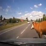 Ilyen egy igazán pikáns vadbaleset - videó