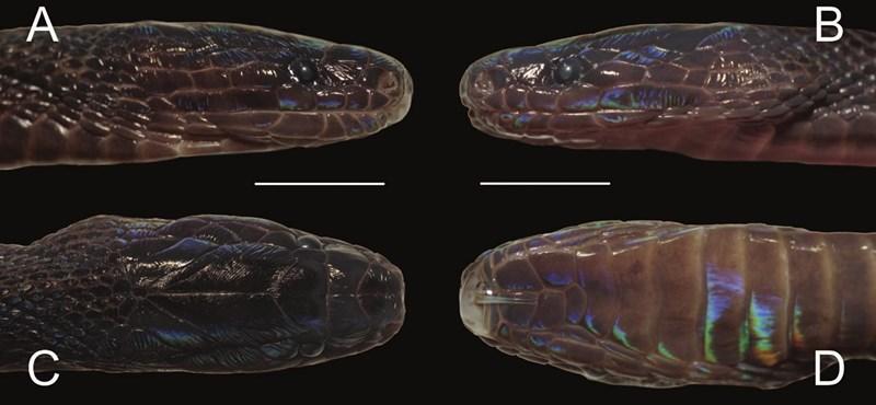 Szivárványszerűen csillogó kígyót fedeztek fel Vietnamban, egy nagyon ritka fajhoz tartozik