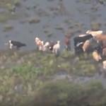 Marhák ezrei maradtak Harvey után az árvízben sorsukra hagyva Texasban