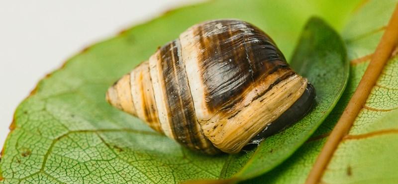 Elpusztult George, a világ legmagányosabb csigája