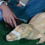 Fotó: akupunktúrával gyógyult az albínó aligátor
