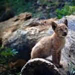 Száz éve nem volt ilyen: kishiúz született a Pireneusokban – fotó