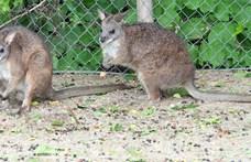 Majdnem kihalt a Budapesti állatkert új kenguruja