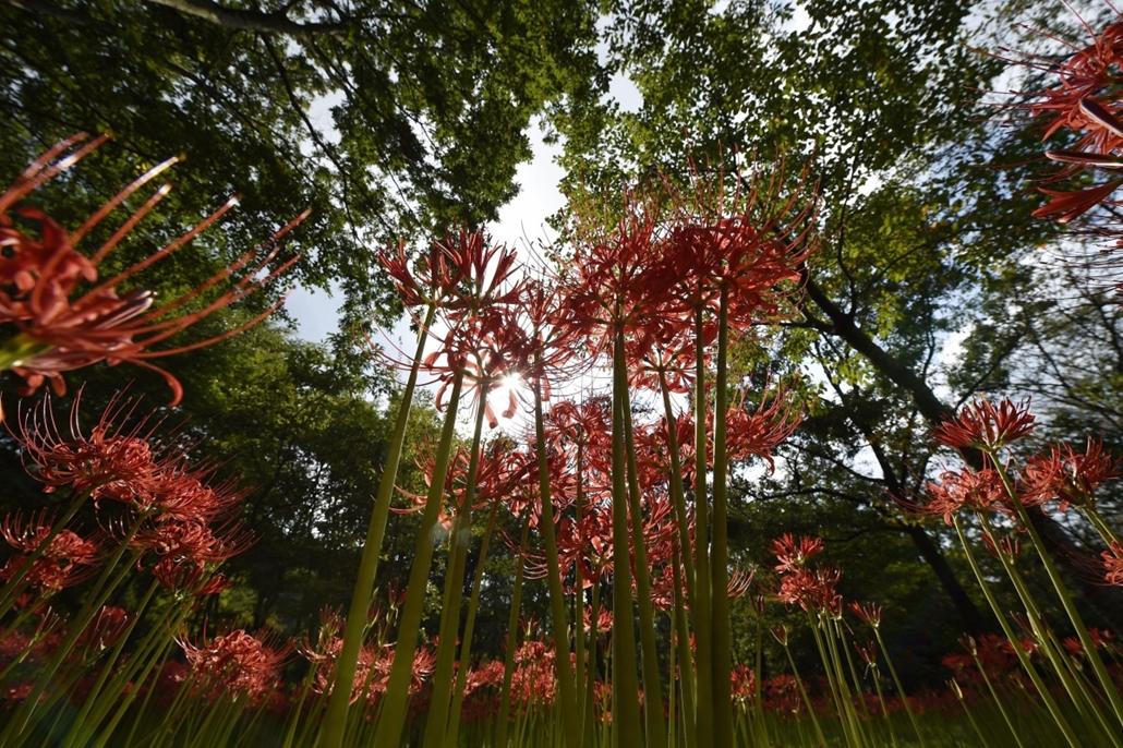 epa. hét képei - Vörös pókliliom virágzása Japánban 2014.09.22. Hidaka, Virágzik a vörös pókliliom a Kincsakuda Parkban, a japán főváros mellett fekvő Hidakában 2014. szeptember 22-én. A japánok által higanbanának nevezett virág jelzi a nyár végét és egyú