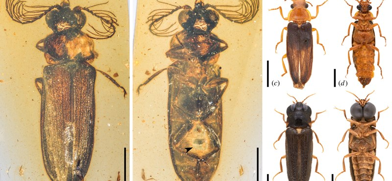 A szentjánosbogár százmillió éves ősét fedezték fel egy mianmari borostyánban