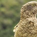 A kea sokkal okosabb, mint eddig gondolták – videó