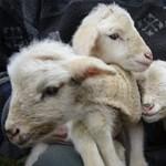 Aranyos ritkaság: négyes bárányikrek születtek Derecskén - fotók