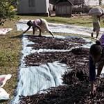 Ciklonok, korrupció és gyilkosságok: ne csodálja, hogy egekben a vanília ára
