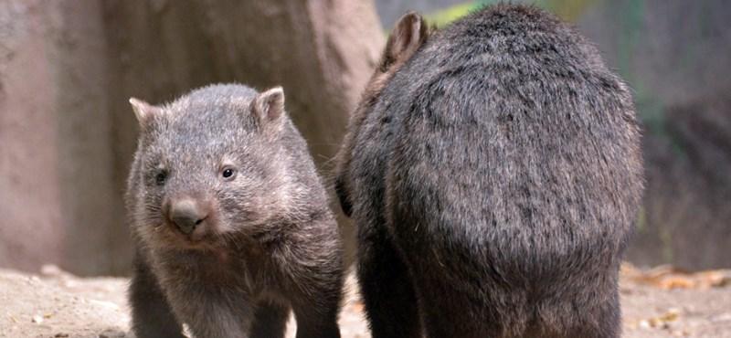 A budapesti állatkert vombatkölyke robbantotta a mai cukiságbombát