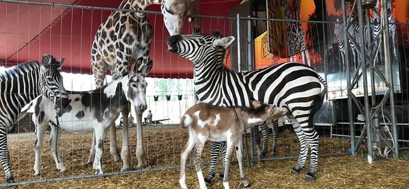 Zebra-szamár hibrid született a Magyar Nemzeti Cirkuszban