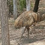 A havas utcákon menekült a szökött emu egy angliai faluban – fotó