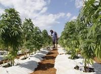 Juncker hazájában legális lesz a marihuána, és 665 ezer forintra emelik a minimálbért
