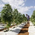 Legalizálja a marihuána termesztését Libanon
