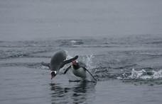 Lopott tojást költenek a holland homoszexuális pingvinek