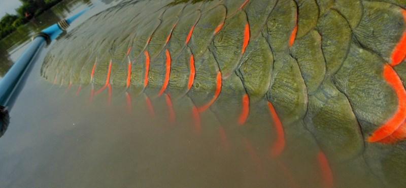 """""""Golyóálló"""" mellény védi a világ egyik legnagyobb édesvízi halát"""