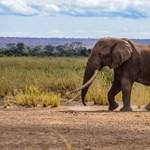 Elpusztult az utolsó óriásagyarú afrikai elefántok egyike
