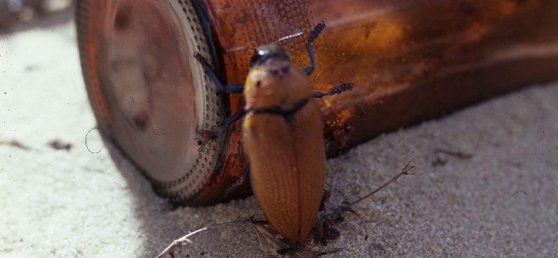 A sörösüveggel szexelő bogarak halála