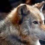 Újratelepítik a farkasokat Skóciába?