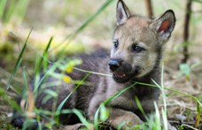 Labdázó farkaskölykök adhatnak választ egy régi nagy kérdésre