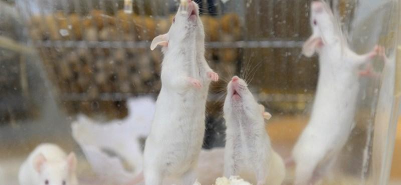 Hatásos a zikavírus ellenszere az egerekben