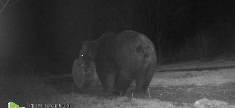 Webkamera előtt játszadozott egy hordóval egy medve