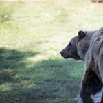Egy medvetámadás mindig rosszkor jön, de a vécén a legrosszabb