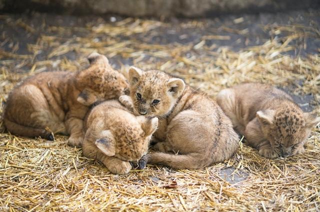 Afrikai oroszlánok születtek Nyíregyházán, most megnézheti őket