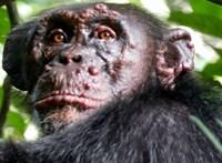 Leprás csimpánzokat találtak, nyugtalanítja a kutatókat a betegség
