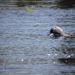 Kihalás fenyegeti az Amazonasban honos édesvízi delfineket
