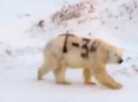 Lényegében halálra ítélték a jegesmedvét, amelyiknek feliratot festettek a bundájára