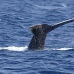 Ezt is az ember okozza: elhallgat a bálnák éneke, ha hajó közeledik