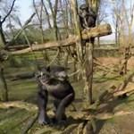 Videó: Pillanatok alatt leszedett egy drónt a levegőből a kíváncsi csimpánz