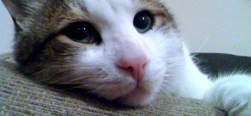 Fotó: kétmillió forintos macska lógott meg egy brit pártól