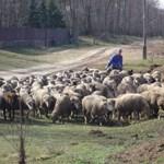 """""""Amit lehet, rólunk húznak le"""" – csóró juhászok nevelgetik az aranyat érő bárányokat"""