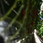 Felfedezték azt a gént, amelynek a megváltoztatásával a növények ellenállóbbá válhatnak