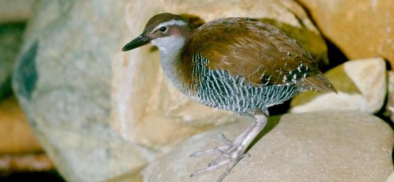 A remény szikrája: a kihalás széléről sikerült visszahozni tíz állatfajt
