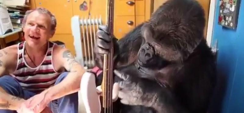 Meghalt Koko, a jelelő gorilla