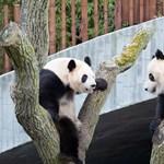 Kikommandózta magát egy óriáspanda a kifutójából a koppenhágai állatkertben