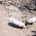 Krimibe illő fordulat kíséri a sertéspestis terjedését Romániában