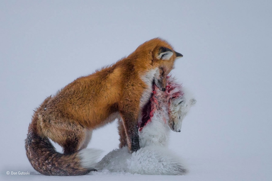 NE HASZNÁLD!!!!!!!!! - Wildlife Photographer of the Year, Don-Gutoski- Wildlife Photographer of the Year
